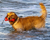 Golden Retriever playing in the surf