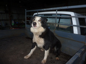 Border collie in ute