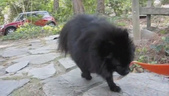 pomeranian walking in slow motion