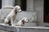 Two Wheaten Terriers stand guard outside a house in Ukrainian Village