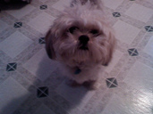 Our Shih Tzu Maddie