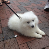 This 9 week old Japanese Spitz was off the hook